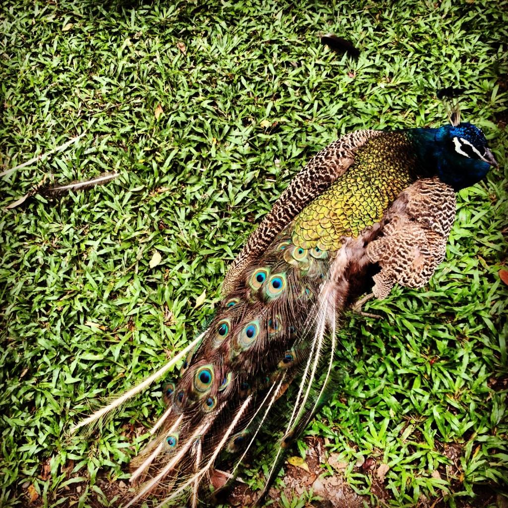 Peacock at the Peacock Garden near Taichung