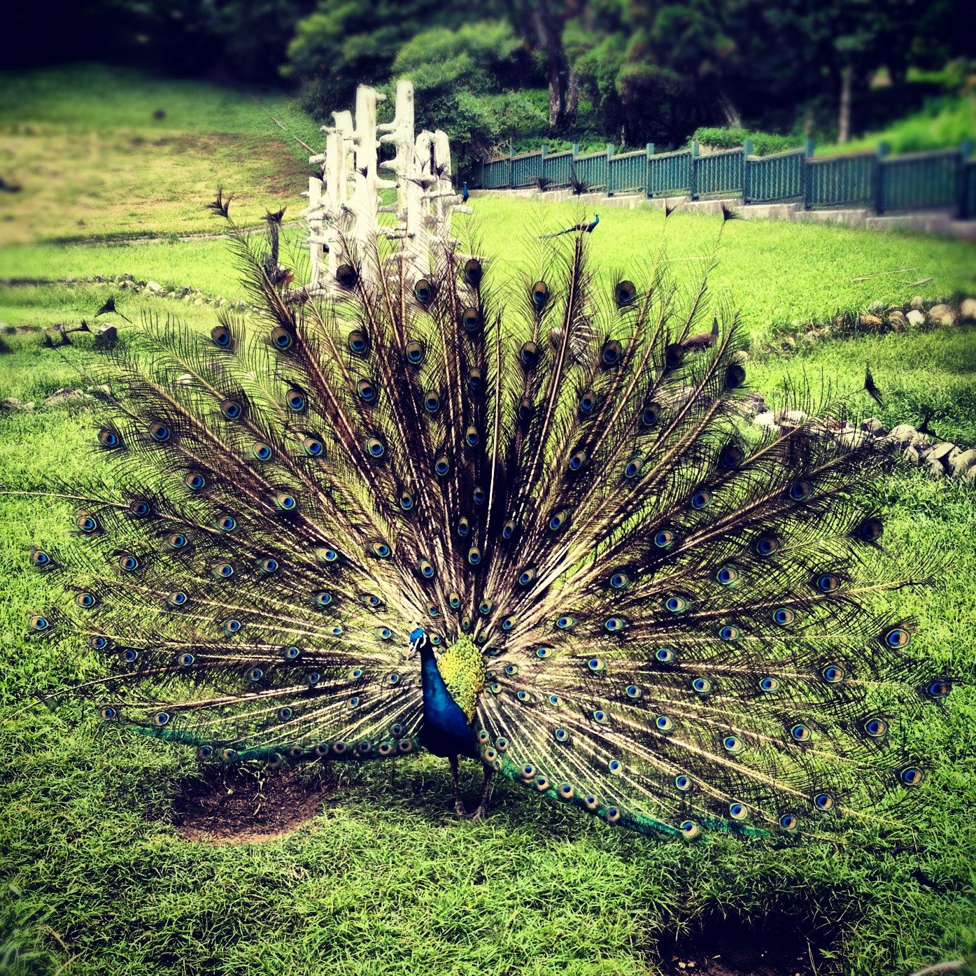 Peacocks during mating season